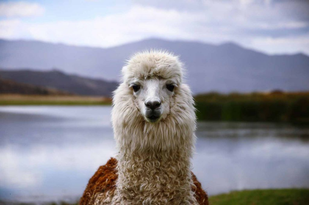 Really looking forward to getting to know all the lovely alpaca's and llama's in Peru on our round the world itinerary