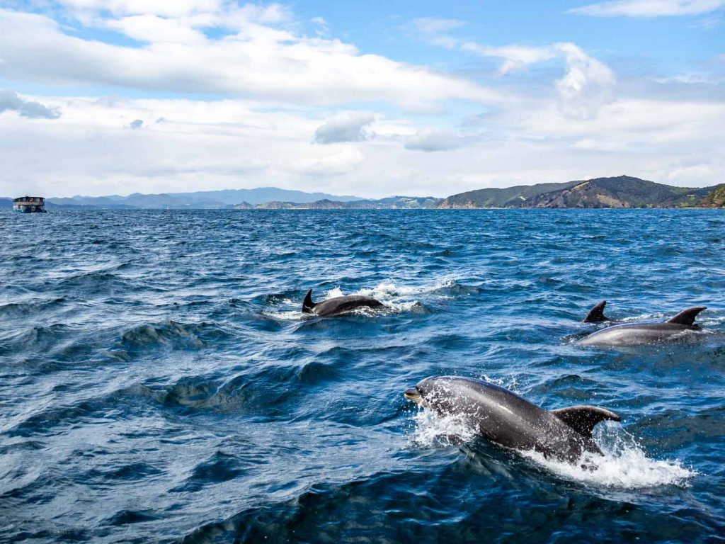 A pod of dolphins in the Bay of Islands