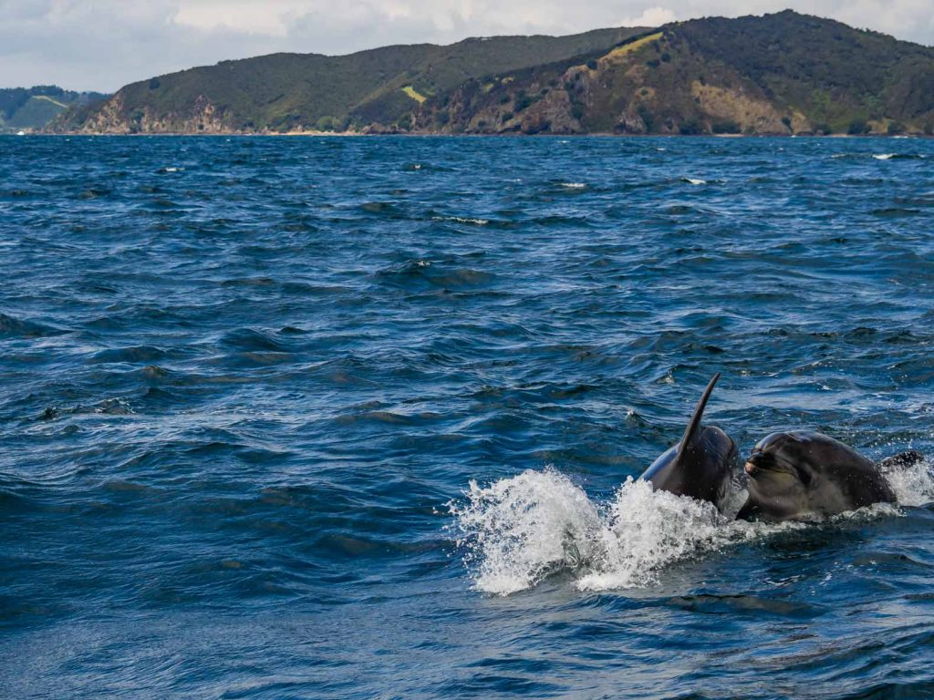 Dolphins having fun in the Bay of Islands