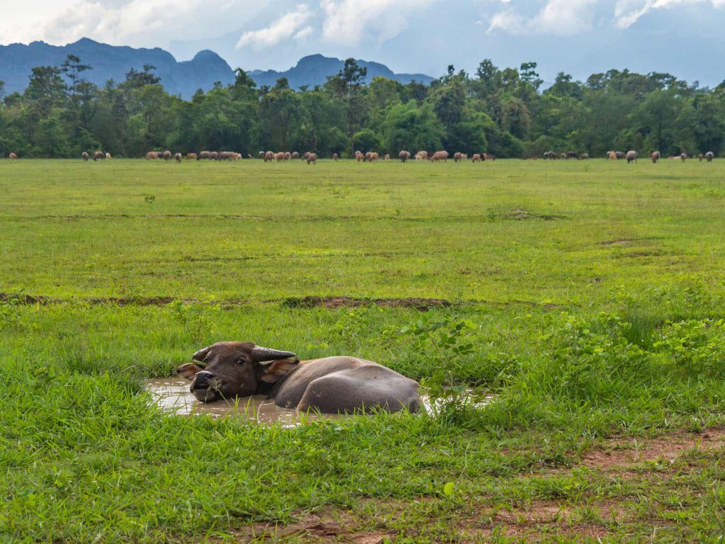 A waterbuffalo chilling in his private little mud pool.