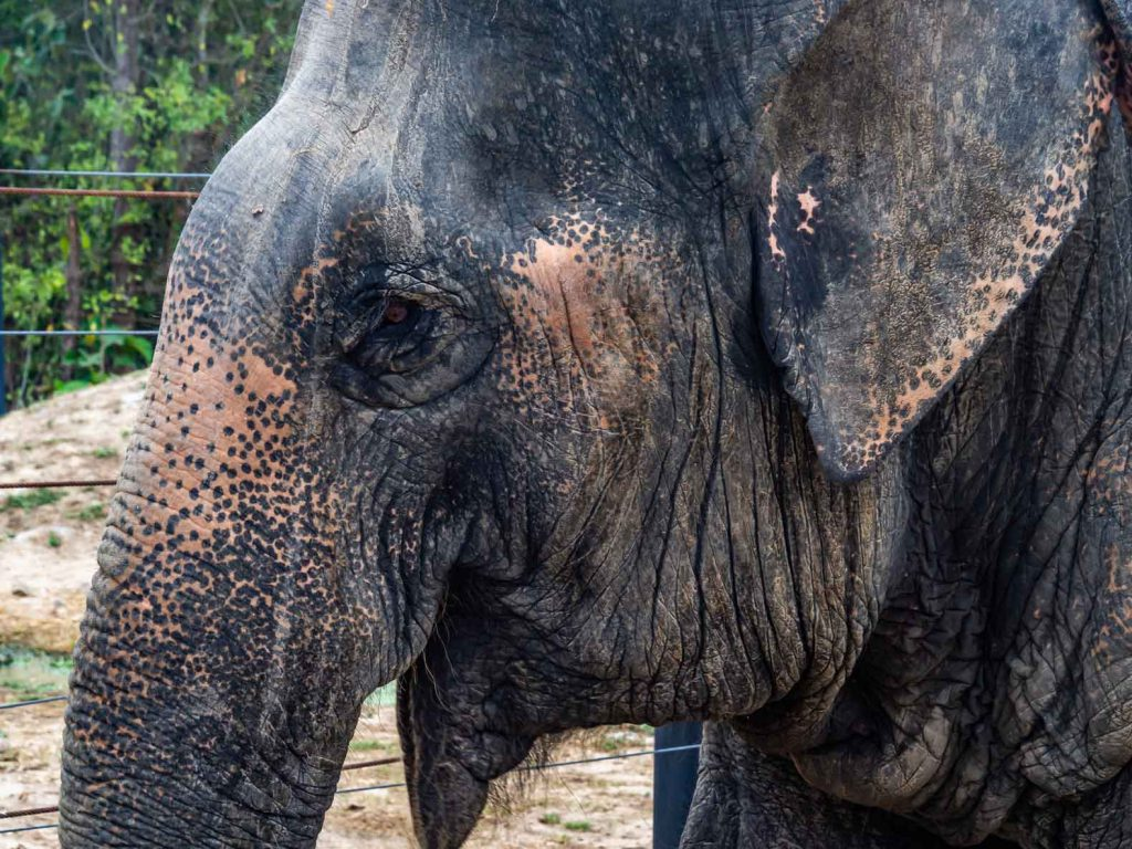 Elephant at the WFFT elephant sanctuary in Thailand - responsible elephant tourism