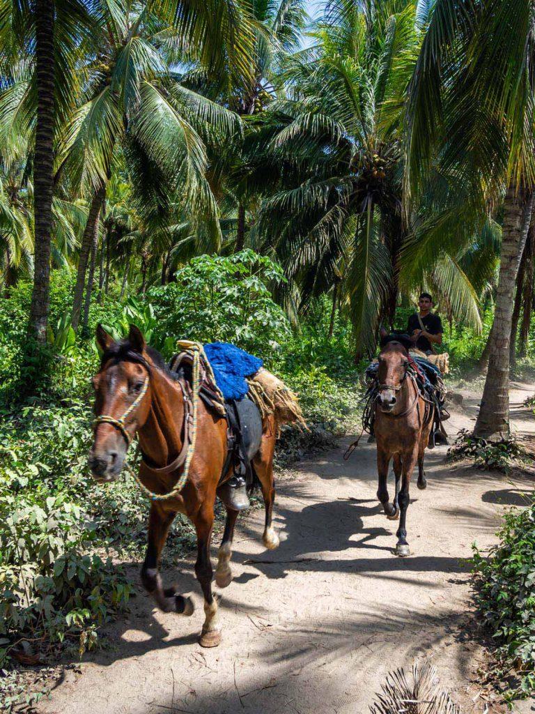 Tayrona National Park Horses