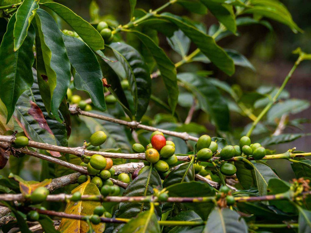 Salento Coffee Tour - Coffee beans